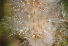 Tistelfrö från en Texas Thistle Royaltyfria Bilder