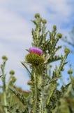 Tistelknoppar och blommor Arkivfoton