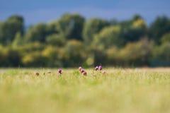 Tisteln slår ut och blommar på ett sommarfält Tistelblommor är symbolet av Skottland arkivbilder