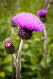 Tisteln slår ut och blommar på ett sommarfält Tistelväxten är symbolet av Skottland Royaltyfri Fotografi