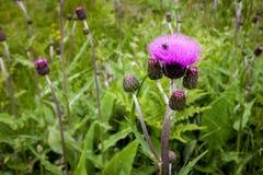 Tisteln slår ut och blommar på ett sommarfält Tistelväxten är symbolet av Skottland Royaltyfri Bild