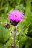 Tisteln slår ut och blommar på ett sommarfält Tistelväxten är symbolet av Skottland Arkivfoton