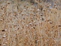 Tistelogräset, myskCarduusnutans eller skotsk whiskyonopordumen, acanthium i nedgången, vissnade och torrt, döda, slut upp, makro Royaltyfri Bild
