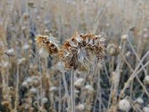 Tistelogräset, myskCarduusnutans eller skotsk whiskyonopordumen, acanthium i nedgången, vissnade och torrt, döda, slut upp, makro Royaltyfri Fotografi