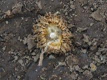 Tistelogräset, myskCarduusnutans eller skotsk whiskyonopordumen, acanthium i nedgången, vissnade och torrt, döda, slut upp, makro Arkivbilder