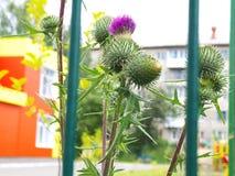 Tistelväxt som växer bak staketet Royaltyfri Fotografi