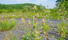 Tistlar som växer på ett dike i sommar Royaltyfria Foton
