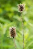 Tistlar väck till frö—Cirsium Vulgare arkivbild