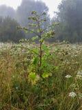 Tistlarna i skogen Fotografering för Bildbyråer