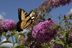 Tiswallowtail, Papilio Glaucus. Swallowtail, Papilio Glaucus butterfly in Central Park in the summer Stock Photography