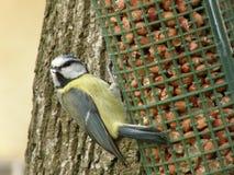 tit αρσενικό (ζώο) Στοκ φωτογραφίες με δικαίωμα ελεύθερης χρήσης