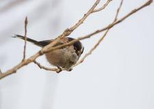 Tit που σκαρφαλώνει με μακριά ουρά στον κλάδο Στοκ εικόνες με δικαίωμα ελεύθερης χρήσης