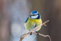 Tit που σκαρφαλώνει μπλε στον κλαδίσκο του πεύκου Στοκ Φωτογραφία