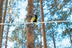 Tit σε ένα χειμερινό δάσος Στοκ Εικόνες