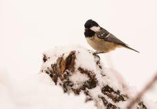 Tit болотоа на снежк-покрытой ветви Стоковое Изображение RF