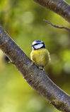 tit сада птиц голубой Стоковые Фото