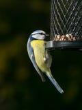 tit фидера птицы голубой Стоковое фото RF