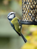 tit фидера птицы голубой Стоковая Фотография