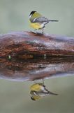 Tit. Perched on a log and reflected in the water Royalty Free Stock Photography
