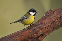 Tit. Tit perched on a branch of a tree Royalty Free Stock Photography