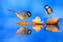 Tit. Tit drinking on the river with tree leaves in autumn Royalty Free Stock Images