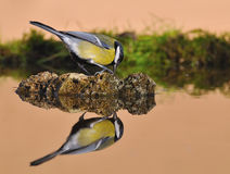 Tit. Tit reflected in the water Royalty Free Stock Image