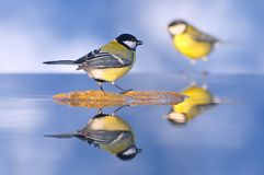 Tit. Tit reflected in the water Royalty Free Stock Photo