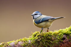 голубой tit Стоковое Изображение RF