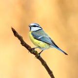 Μπλε tit Στοκ εικόνα με δικαίωμα ελεύθερης χρήσης