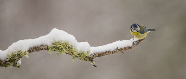 Голубой Tit с снежком Стоковые Изображения RF