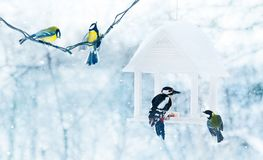 Free Tit And Woodpecker Birds In White Wooden Stock Photo - 111273350