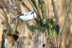 Tit azul Foto de archivo libre de regalías