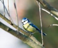 Tit azul Imágenes de archivo libres de regalías