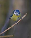 Tit azul Fotos de archivo libres de regalías