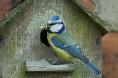 Tit azul (caeruleus de Cyanistes) Fotografía de archivo libre de regalías