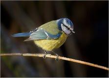 Tit azul - caeruleus de Cyanistes Imagenes de archivo