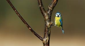 Tit azul (caeruleus de los cyanistes) Foto de archivo