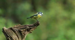 Tit azul (caeruleus de los cyanistes) Fotos de archivo libres de regalías