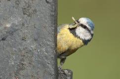 Tit azul (caeruleus del Parus) Imagen de archivo libre de regalías