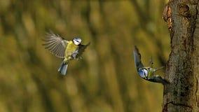 Tit azul, caeruleus del parus, adultos en vuelo, aterrizaje y lanzamiento del tronco de árbol, Normandía, metrajes