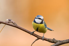 Tit azul (caeruleus del parus del aka) en backgroun anaranjado Imagenes de archivo