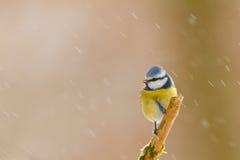 Tit azul en nieve Fotos de archivo