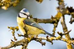 Tit azul en rama en el sol de la primavera fotos de archivo libres de regalías