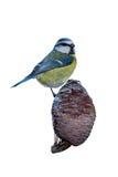 Tit azul en un cono Foto de archivo libre de regalías