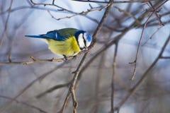 Tit azul en un día escarchado que se sienta en una rama Foto de archivo