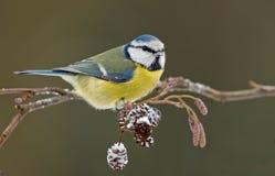 Tit azul en una ramita del invierno Fotos de archivo libres de regalías
