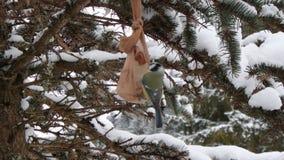 Tit azul eurasiático en invierno metrajes