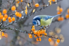 Tit azul que se sienta en la rama de las bayas espino amarillas y del peck en invierno Imagenes de archivo