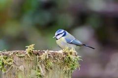Tit azul que se sienta en los posts cubiertos musgo Fotos de archivo libres de regalías