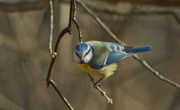 Tit błękitny tit w wiosna lesie Obrazy Royalty Free